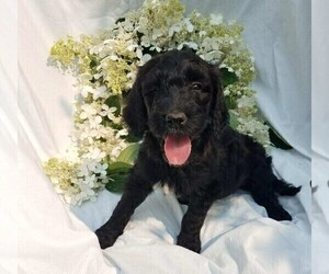 Goldendoodle-Poodle (Standard) Mix Puppy for sale in FREDERICKSBG, OH, USA
