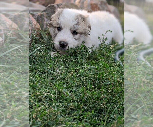Medium Photo #115 Great Pyrenees Puppy For Sale in FALCON, CO, USA