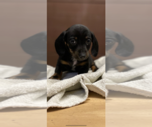 Dachshund Puppy for sale in QUANAH, TX, USA