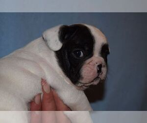 French Bulldog Puppy for sale in SAN JOSE, CA, USA