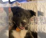 Small American Pit Bull Terrier-Australian Shepherd Mix