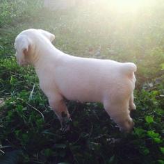 Cane Corso Puppy For Sale in SEYMOUR, MO, USA