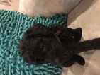 Labradoodle Puppy For Sale in ROUND ROCK, TX,