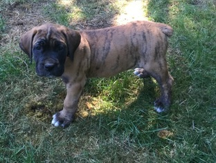 Boerboel Puppy For Sale in VANCOUVER, WA, USA
