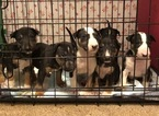 Bull Terrier Puppy For Sale in WHITE, GA, USA
