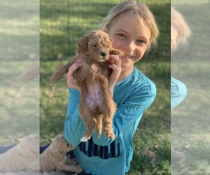 Labradoodle Puppy for sale in GALT, CA, USA