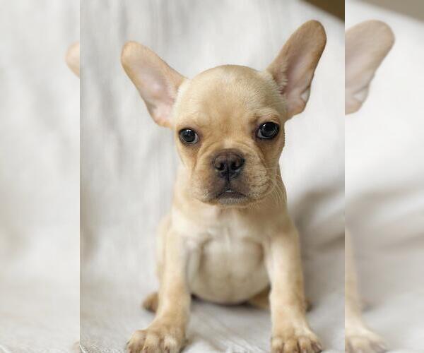 Medium Photo #2 French Bulldog Puppy For Sale in POUND RIDGE, NY, USA
