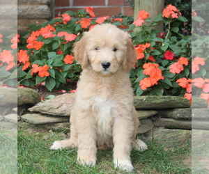 Goldendoodle Dog for Adoption in NEW PROVIDENCE, Pennsylvania USA