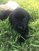 Labrador Retriever Puppy For Sale in ANGIER, NC, USA