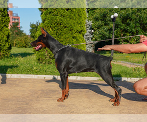Doberman Pinscher Puppy for sale in Svilengrad, Khaskovo, Bulgaria