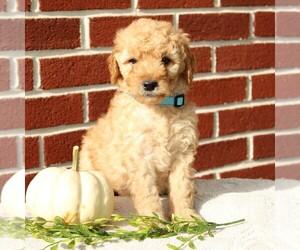 Labradoodle-Poodle (Miniature) Mix Dog for Adoption in GORDONVILLE, Pennsylvania USA