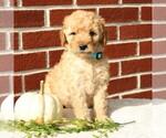 Small Labradoodle-Poodle (Miniature) Mix