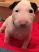 Small #1 Bull Terrier