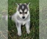 Small #14 Alaskan Klee Kai