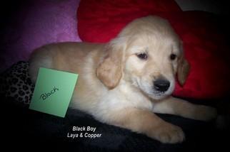 Golden Retriever Puppy for sale in BAYARD, NE, USA