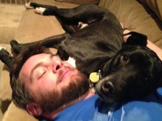 Basenji-Labrador Retriever Mix Dogs for adoption in BROOMFIELD, CO, USA