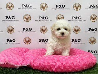 Poodle (Toy) Puppy For Sale in TEMPLE CITY, CA