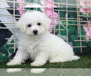 Bichon Frise Puppy for sale in MARIETTA, GA, USA