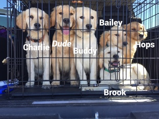 Golden Retriever Puppy For Sale in PETALUMA, CA
