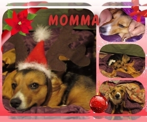 Mother of the Pembroke Welsh Corgi puppies born on 10/12/2020
