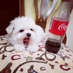 Maltese Puppy For Sale in LOS ANGELES, CA