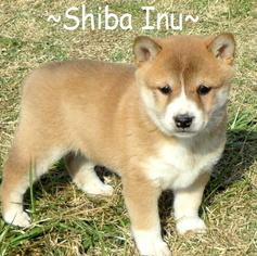 Shiba Inu Puppy For Sale in FOYIL, OK, USA