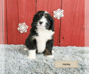 Border Collie Puppy for sale in AKRON, OH, USA