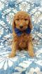 Goldendoodle Puppy For Sale in BIRD IN HAND, PA, USA