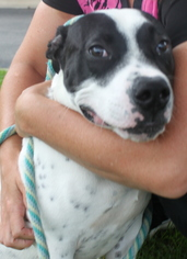 Maserati - American Staffordshire Terrier / Mixed (short coat) Dog For Adoption