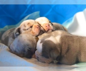 English Bulldog Puppy for Sale in KILLEEN, Texas USA