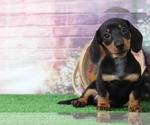 Small #3 Dachshund