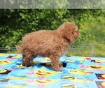 Small #12 Goldendoodle