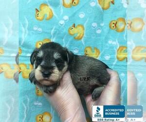 Schnauzer (Miniature) Puppy for sale in WINNSBORO, LA, USA