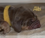 Small #2 Bloodhound