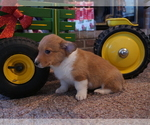 Small Photo #6 Pembroke Welsh Corgi Puppy For Sale in SPRINGFIELD, MO, USA