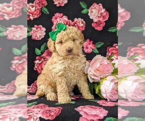 Poodle (Miniature) Dog for Adoption in KIRKWOOD, Pennsylvania USA