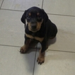 Doberman Pinscher Puppy For Sale in LOUISBURG, NC