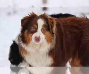 Father of the Miniature Australian Shepherd puppies born on 02/25/2020
