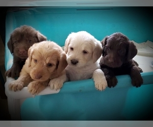 Labradoodle Puppy for Sale in AUBURN, Kansas USA
