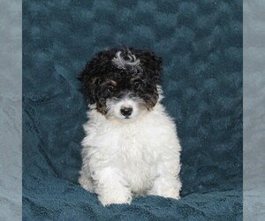 Bernedoodle-Poodle (Toy) Mix Puppy for sale in NOTTINGHAM, PA, USA