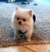 Male Pomeranian puppy 11 weeks AKC registered