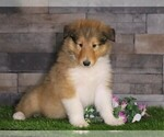 Small #1 Collie