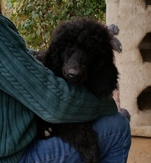Poodle (Standard) Puppy For Sale in FAYETTEVILLE, TX