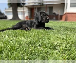 Cane Corso Puppy for Sale in RIPON, California USA