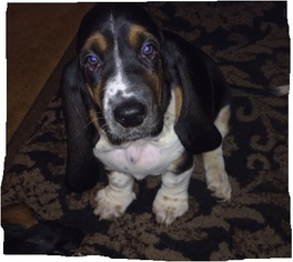 Basset Hound Puppy For Sale in NORTH BRANCH, MN