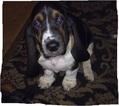 Basset Hound Puppy For Sale in NORTH BRANCH, MN