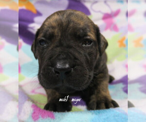 Boerboel Puppy for sale in CROWN POINT, IN, USA