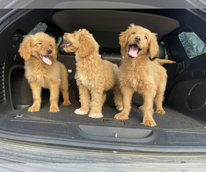 Goldendoodle Puppy for Sale in DETROIT, Michigan USA