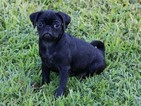 Pug Puppy For Sale in CLEMENTS, MD, USA