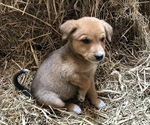 Puppy 4 Australian Cattle Dog-Labrador Retriever Mix